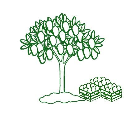 Dibujo de árbol con mangos. Fruta Tropical de temporada madurada en el árbol.