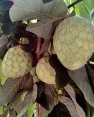 chirimoya-arbol