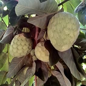 chirimoyas en el árbol