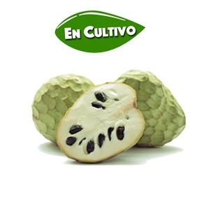 Chirimoya Fino de Jete en cultivo de la Costa Tropical de Granada y Málaga