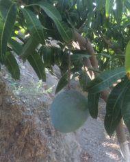 mango kent en arbol