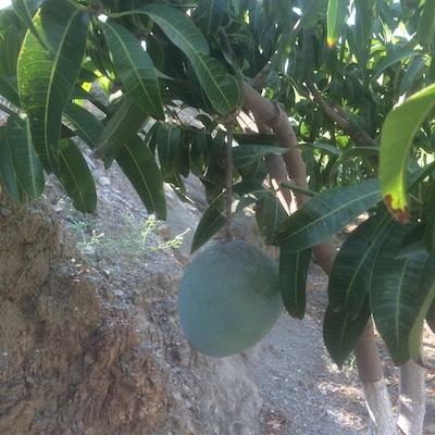 mango kent madurando en el arbol