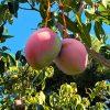 mangos keitt en árbol