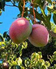 mangos-keitt-en-arbol
