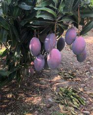 mangos-osteen-en-arbol
