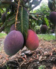 comprar-mango-irwin-del-arbol
