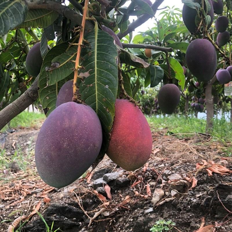 comprar mango irwin del árbol
