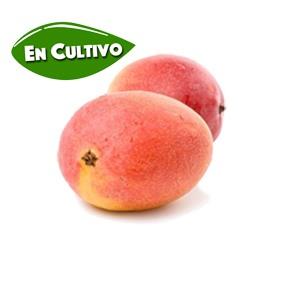 mango irwin de la Costa Tropical en cultivo