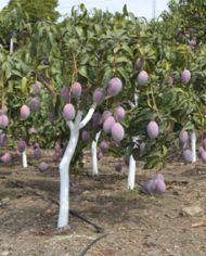 mango irwin en arbol