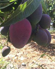 mango irwin madurado en el arbol