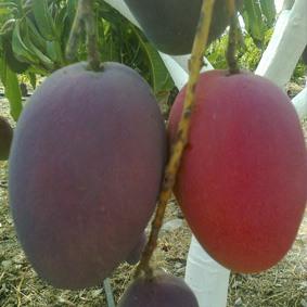 mango irwin maduro y verde