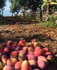 mango-irwin-recolectado-del-arbol