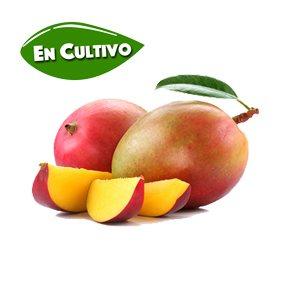 mango osteen de la Costa Tropical en cultivo