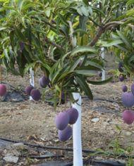 mangos irwin en el arbol