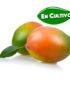 mango keitt de la Costa Tropical de Granada y Málaga en cultivo