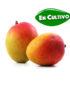 mango kent de la Costa Tropical en cultivo