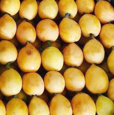 cultivo de nisperos en sayalonga