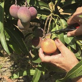 corte de mango bombon o abortos de mango