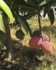 mango bombon o abortos de mango en arbol