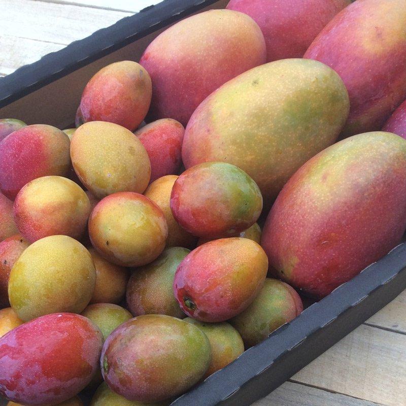 mango bombón y mango irwin