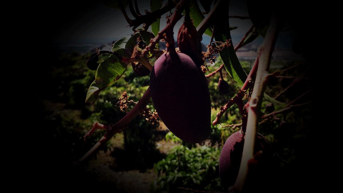 mango sombra