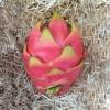 pitahaya, pitaya o fruta del dragon cultivada en españa