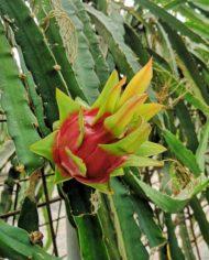 cultivo-de-pitahaya-o-fruta-del-dragon