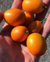 comprar-kumquat