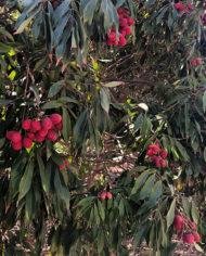 arbol-de-lichis-en-granada
