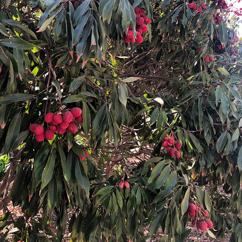 árbol de lichis en Granada
