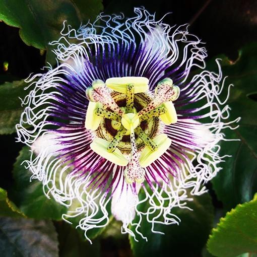 flor de la pasion o passiflora