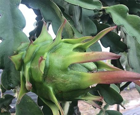 primer fruto de pitahaya